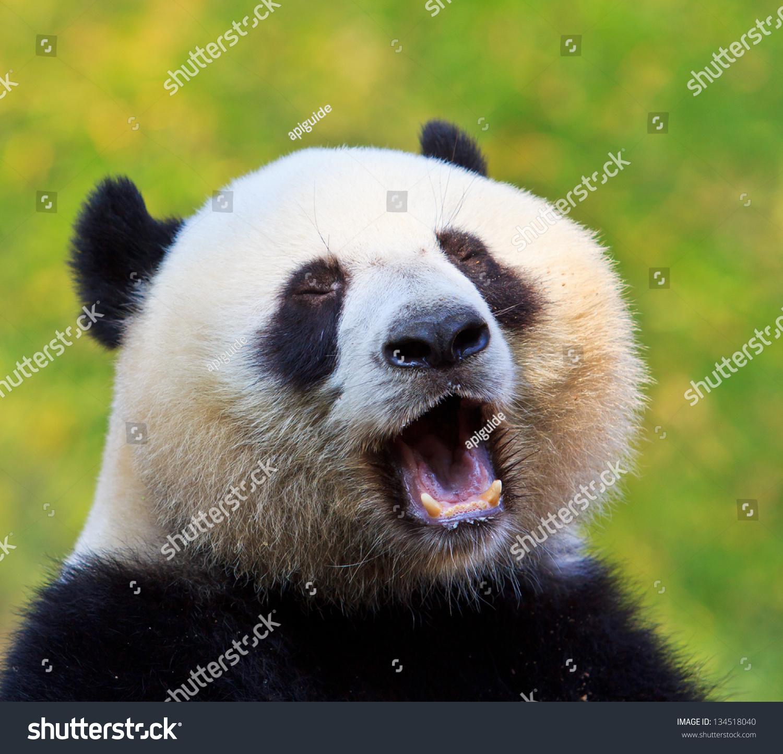 熊猫-动物/野生生物,自然-海洛创意(hellorf)-中国