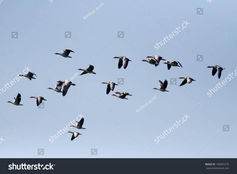 大雁在天空飞翔-动物/野生生物