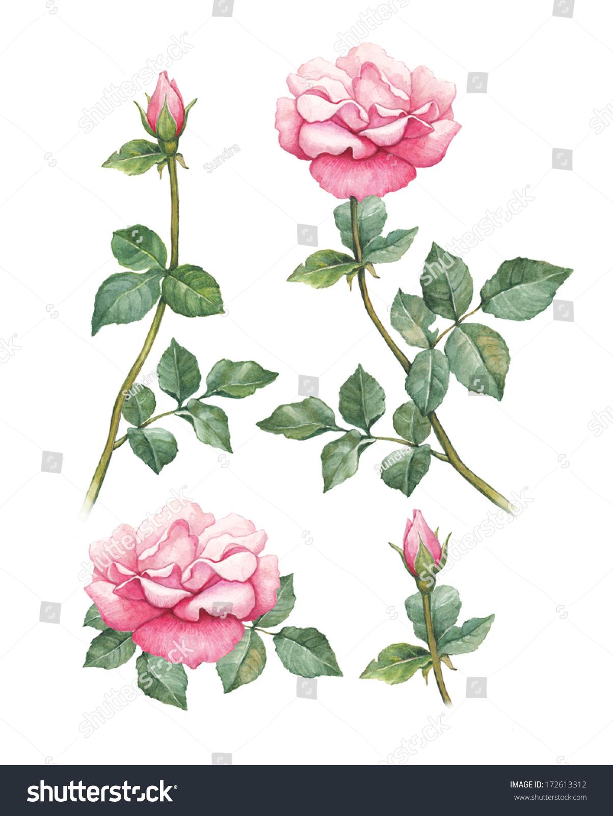水彩插画的玫瑰花朵