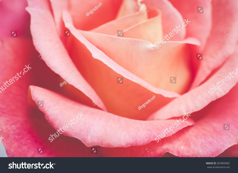 柔和的粉色玫瑰花朵花瓣近,夏花的背景-背景/素材,-()
