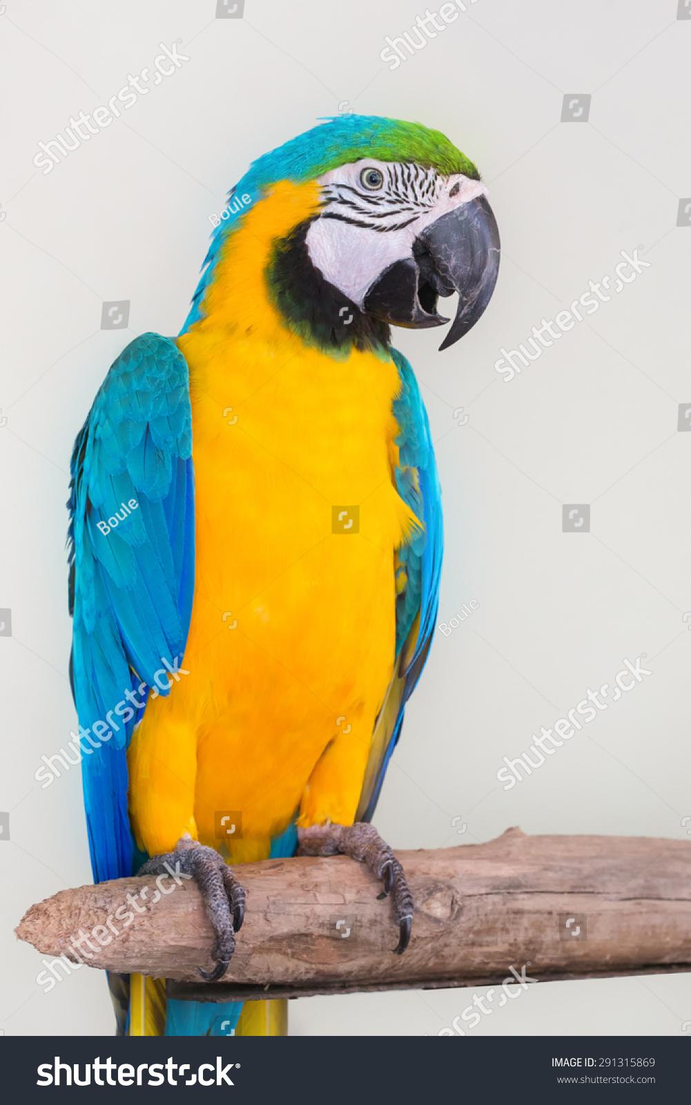 白色背景的彩色鹦鹉吃水果-动物/野生生物
