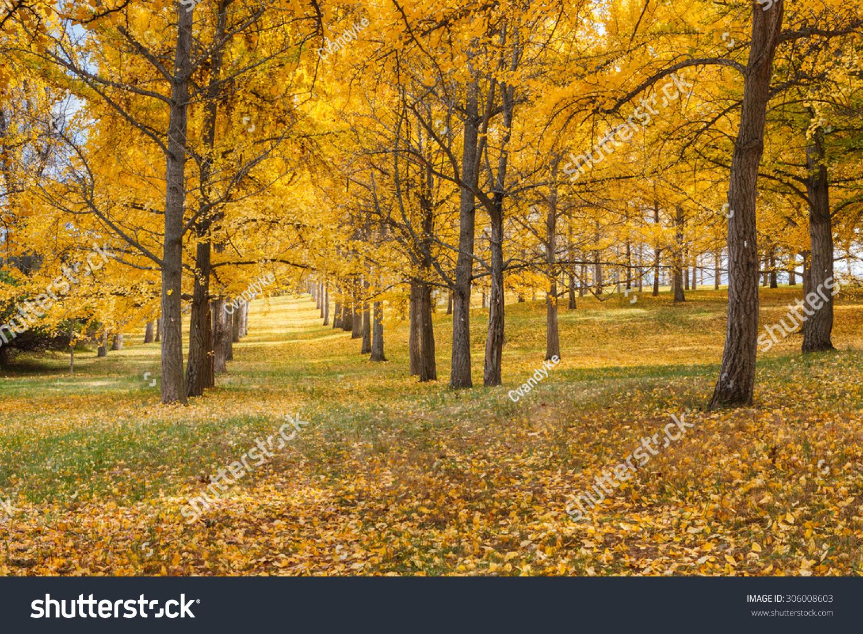 黄色秋天的颜色点缀这树林中的树木银杏树木在北弗吉尼亚.图片