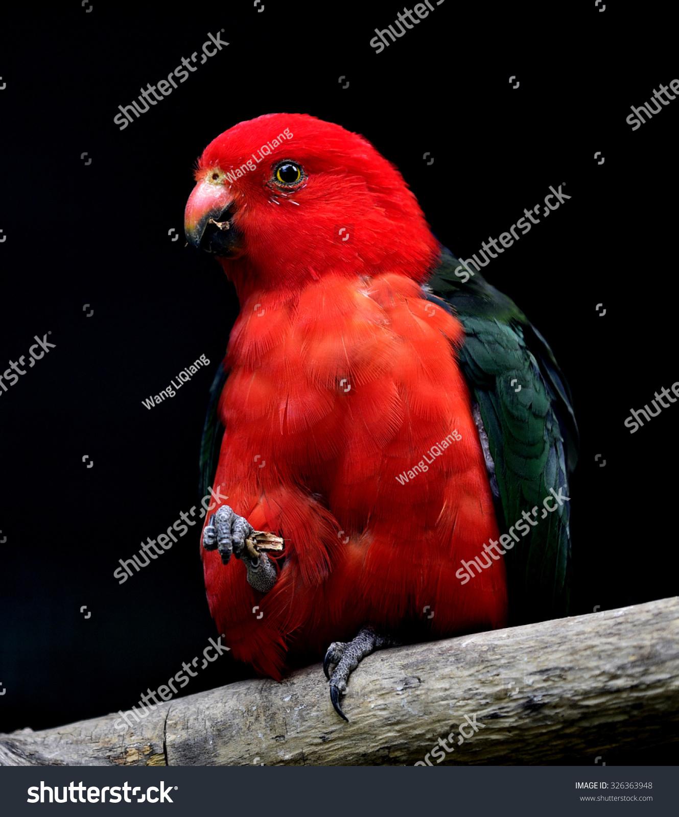 澳大利亚国王鹦鹉-动物/野生生物